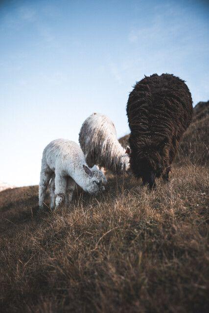 Alpakas vor den Ruinen von Cusco