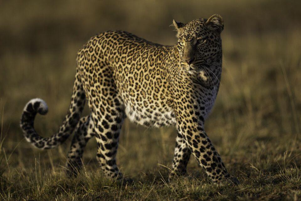 "2. Platz: ""Leopard"", Kenia, Sascha Schorstädt"