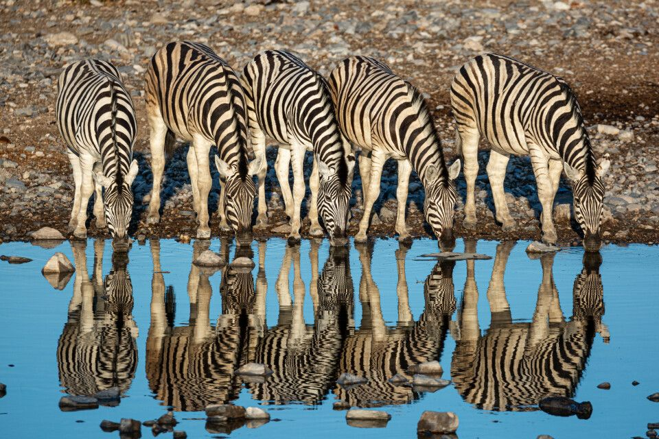 "4. Platz: ""Zebras am Wasserloch"", Namibia, Thomas Isella"