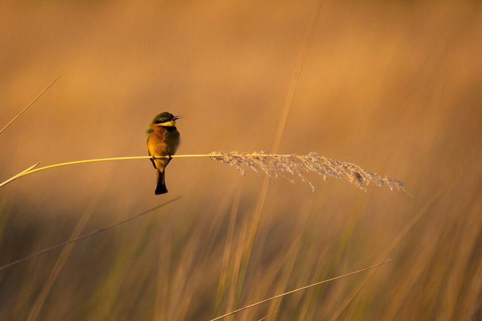 "8. Platz: ""Little Bee Eater"", Botswana, Thomas Graner"