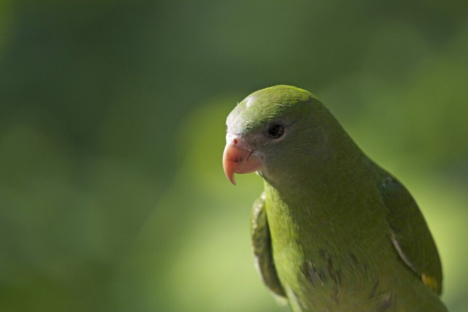 Papagei im Amazonasgebiet