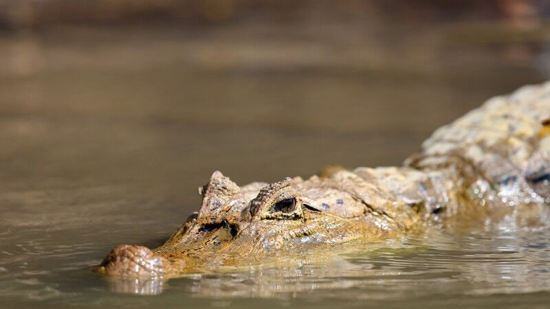 Krokodil auf Pirsch © Diamir