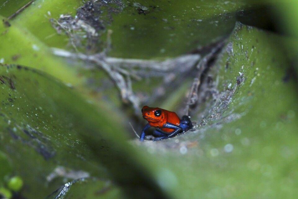 Blue Jeans Frosch in Costa Rica