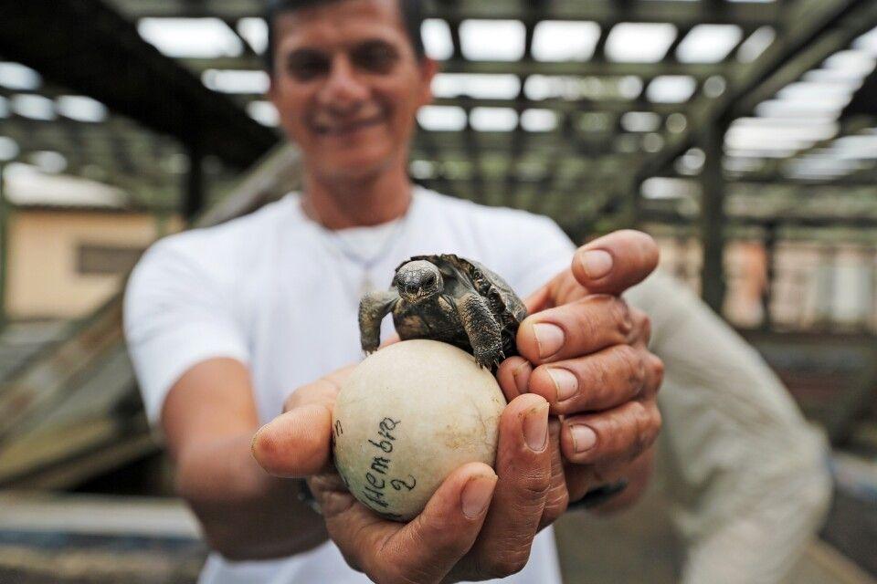 Das Ei einer Riesenschildkröte und ein Schildkrötenbaby auf Galapagos