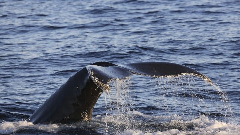 Walbeobachtung hautnah © Diamir