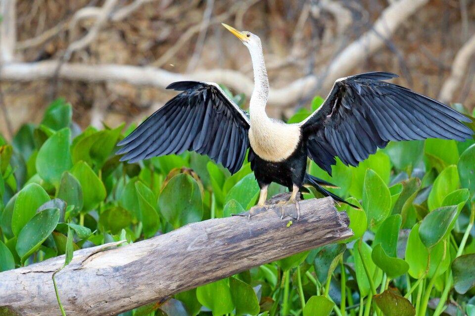 Schlangenhalsvogel mit ausgebreiteten Flügeln