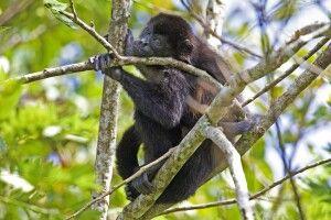 Affe in den Baumkronen