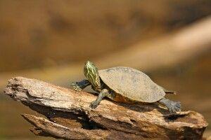 Schildkröte sonnt sich