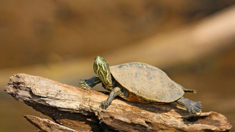 Schildkröte sonnt sich © Diamir