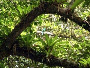 Quetzal-Weibchen