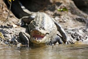 Krokodil in freier Wildbahn