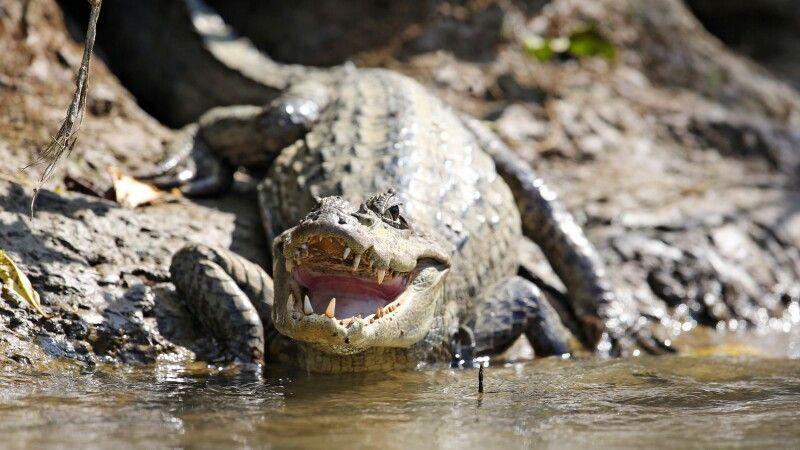 Krokodil in freier Wildbahn © Diamir