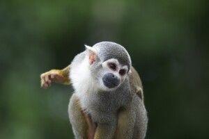 Totenkopfäffchen im Amazonasgebiet