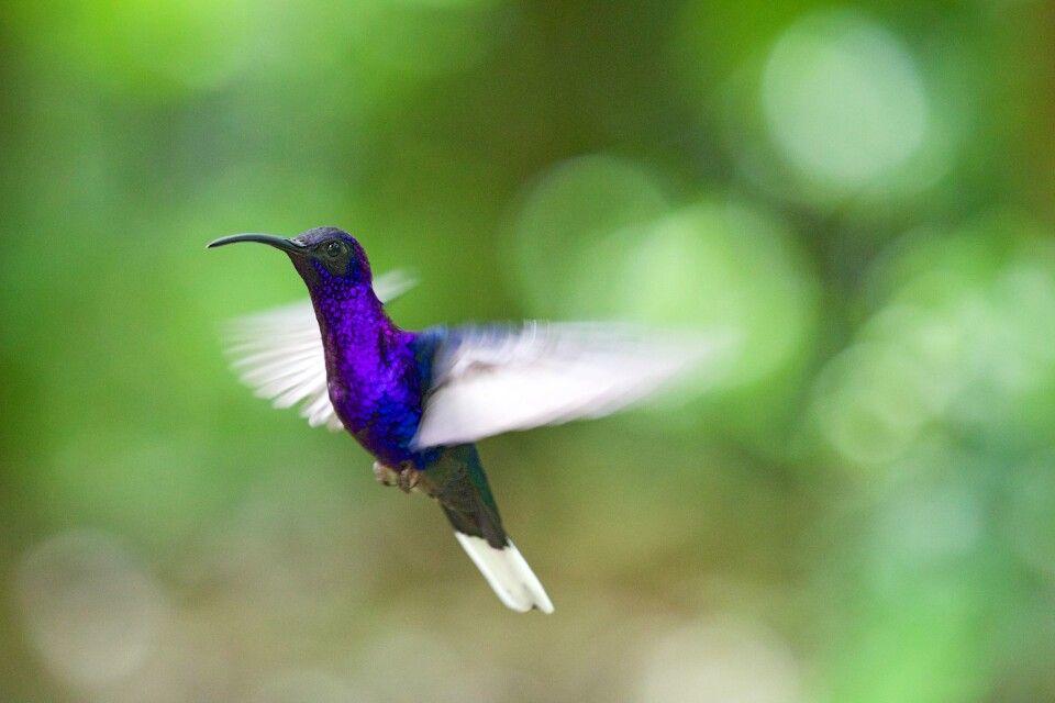Kolibri violett
