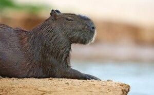 Ruhendes Wasserschwein
