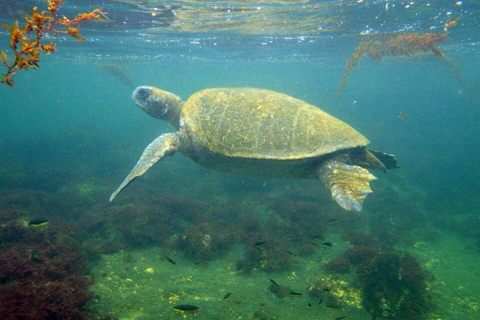 Meeresschildkröte beim Schnorcheln auf Galapagos