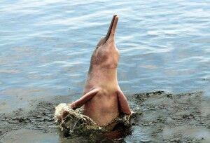 Rosa Flussdelfin