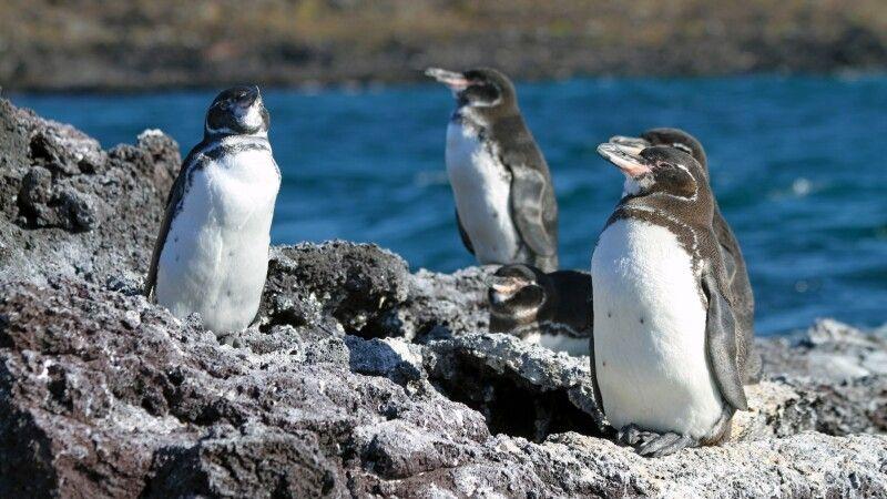 Galapagos Pinguine © Diamir