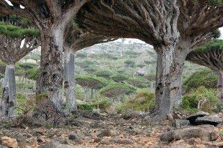 Drachenbaumwald von Firmhin
