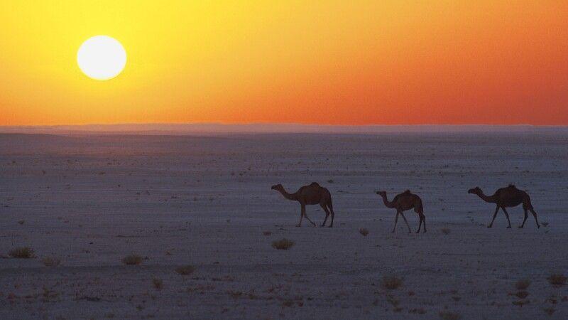 Kamele in der Wahiba-Sands © Diamir