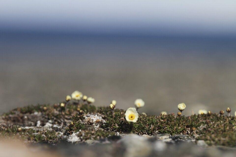 Zarte Blüten ducken sich gegen den arktischen Wind