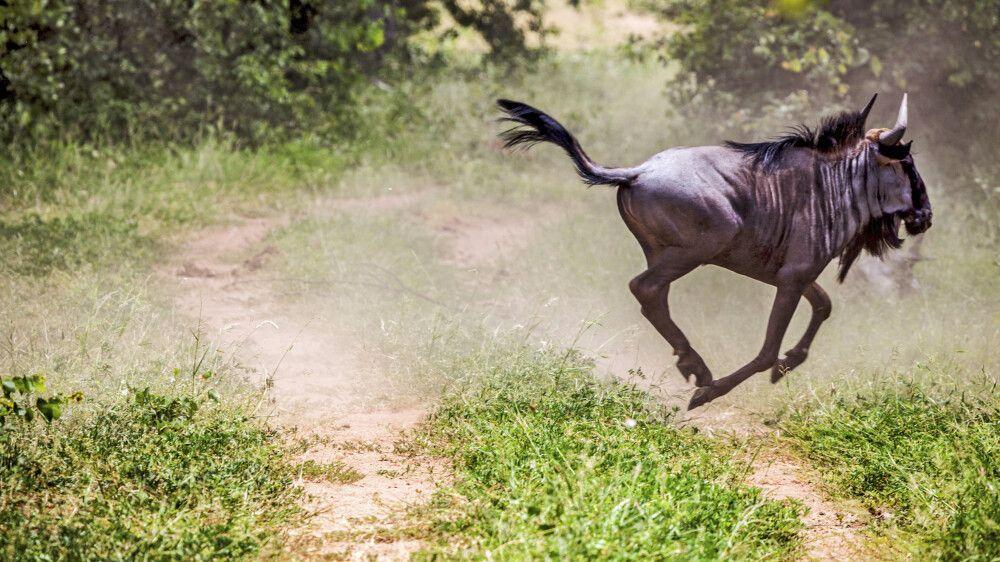 Wildebeest am Zebrastreifen