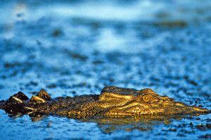 Krokodil in der Cobbold Gorge