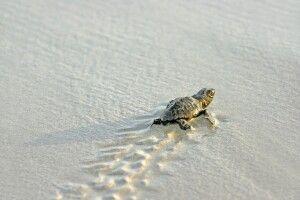 Schildkröten am dem Weg ins den Ozean