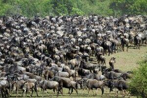 Die große Gnuwanderung zwischen Serengeti und Masai Mara