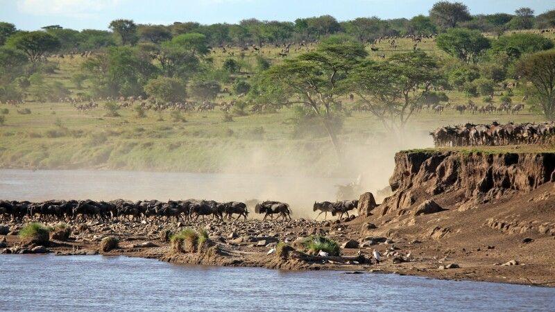 Spektakuläre Flussdurchquerung während der großen Migration © Diamir