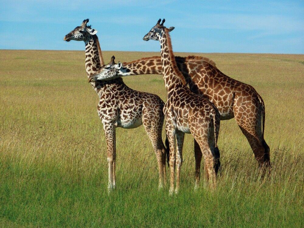 Afrikas Sinnbild - Giraffen in der Savanne