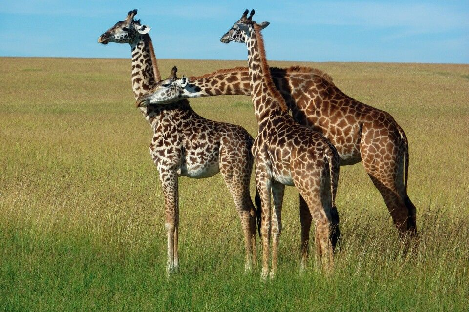 Afrikas Sinnbild - Giraffen in der Savanne