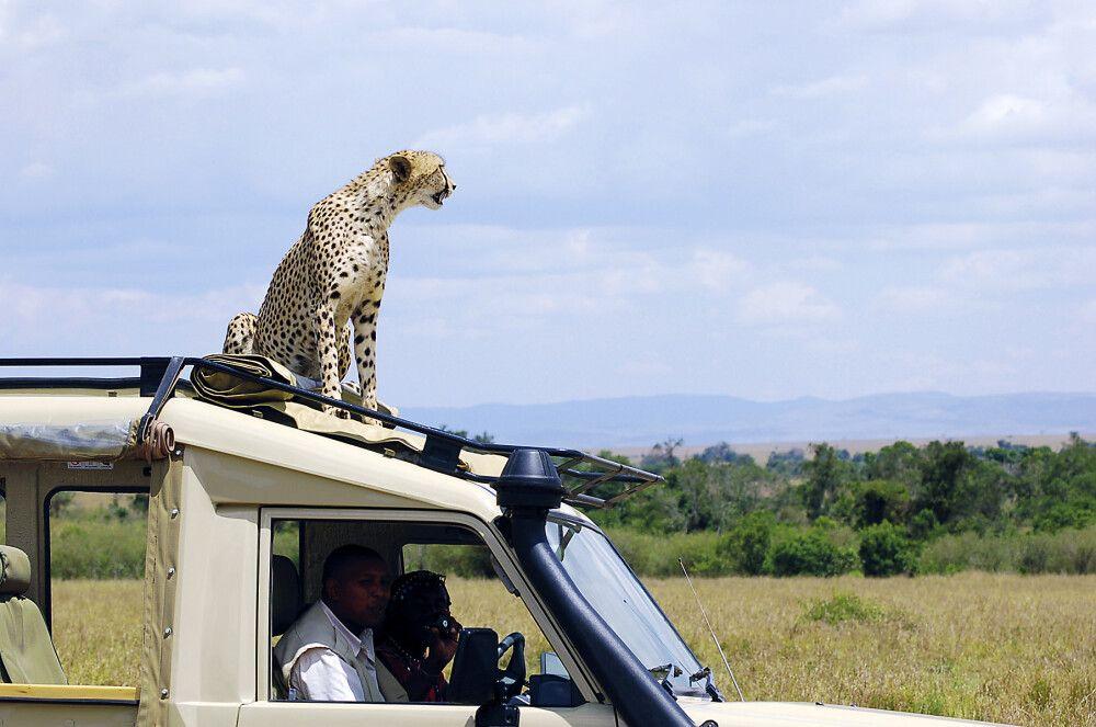 Auch das kommt vor – Gepard nutzt Autodach als Aussichtspunkt