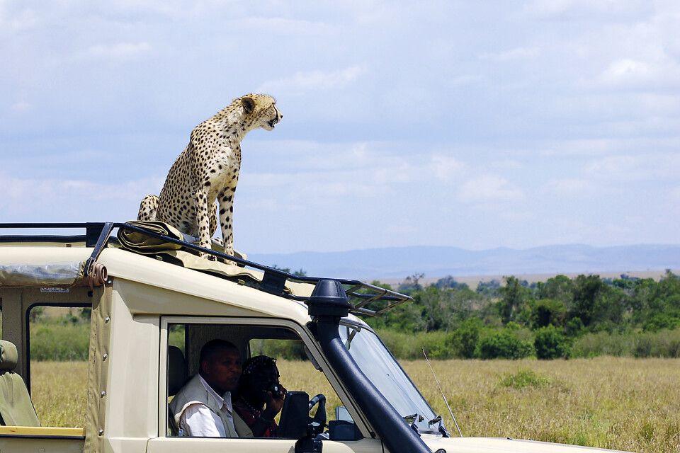 Auch das kommt vor  - Gepard nutzt Autodach als Aussichtspunkt