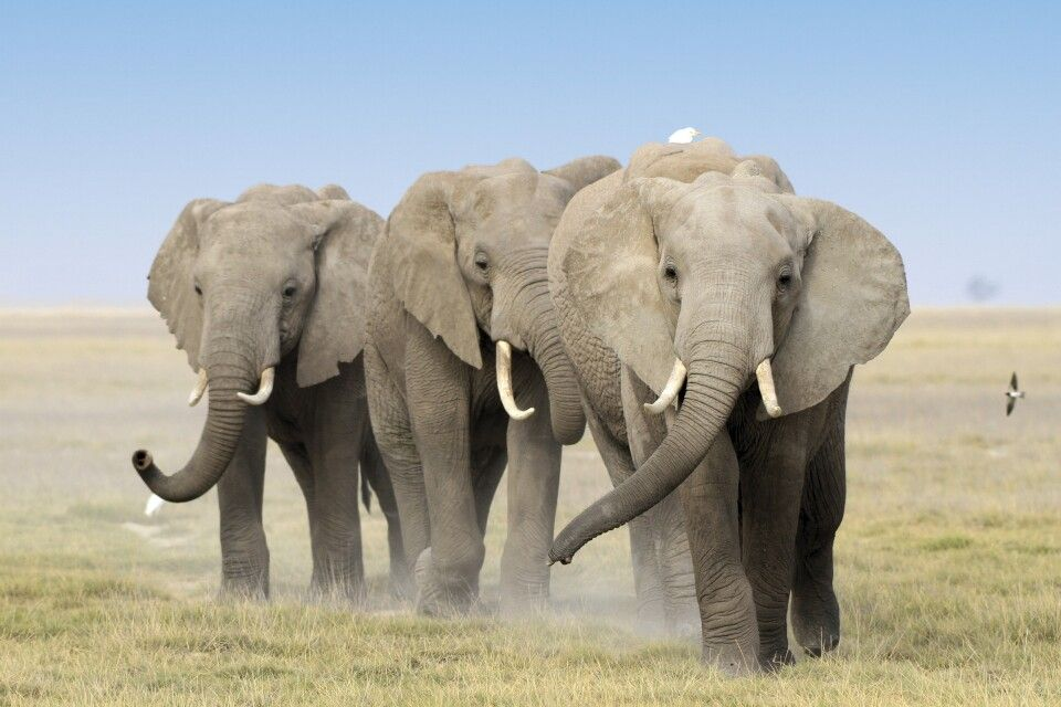 Gruppe stolzer Elefantenbullen