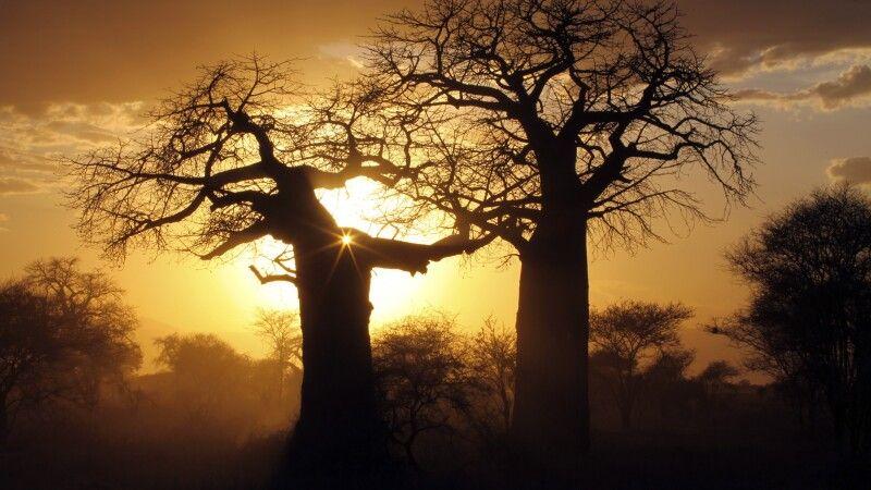 Baobab-Bäume im Abendlicht © Diamir