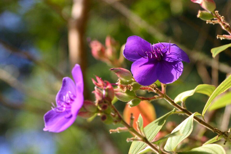 Flora auf St. Helena