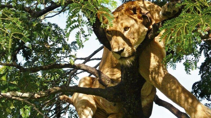 Baumlöwe im Queen Elisabeth Nationalpark © Diamir