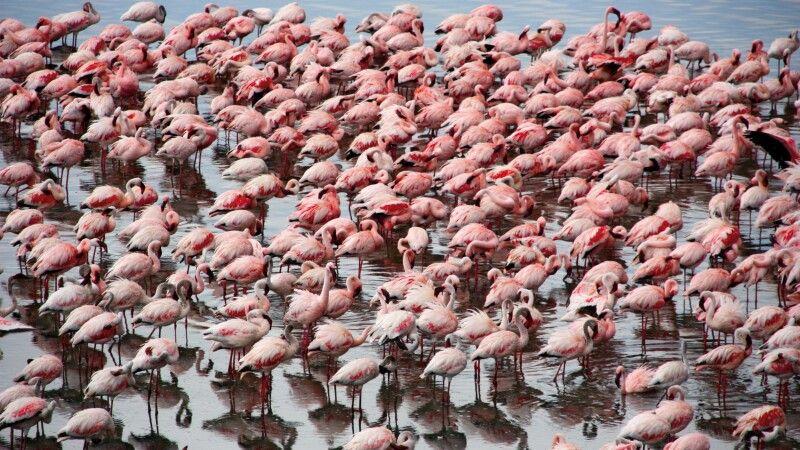 Ein rosa Meer aus Flamingos © Diamir