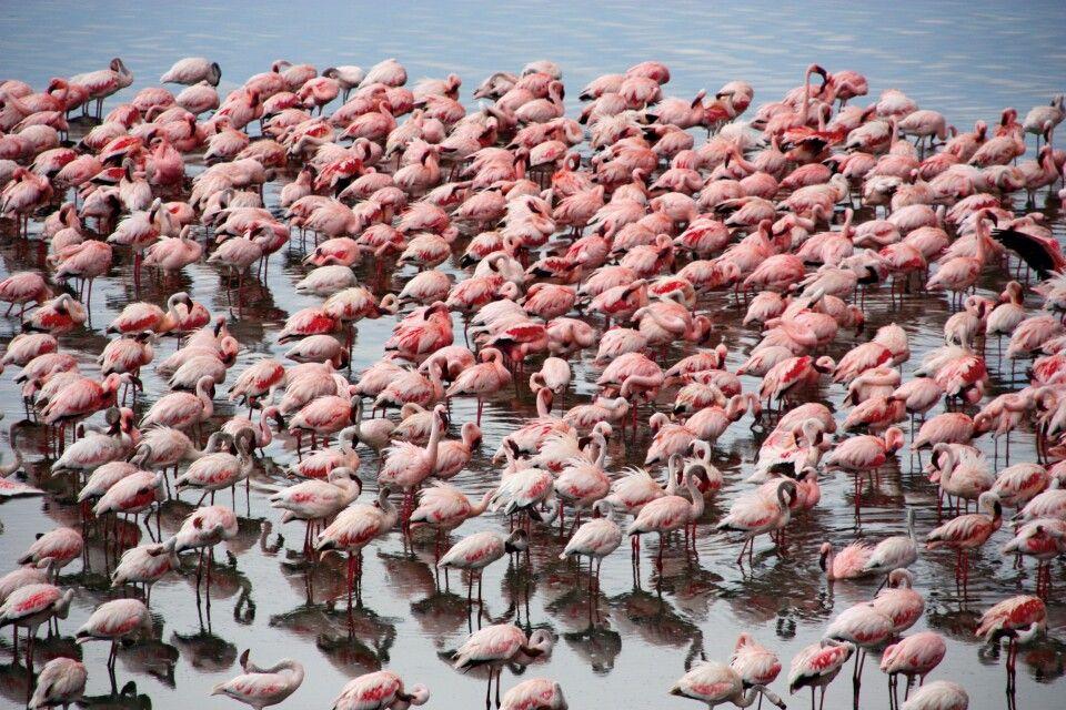 Ein rosa Meer aus Flamingos