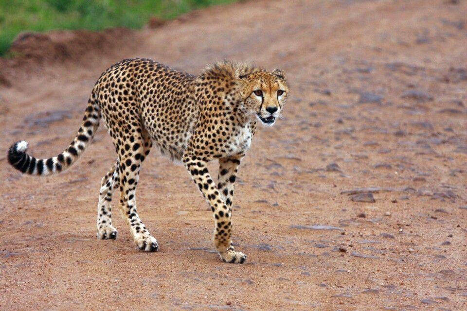 Gepard - elegant und schnell