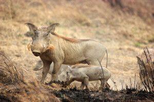 Warzenschweine im Pendjari Nationalpark