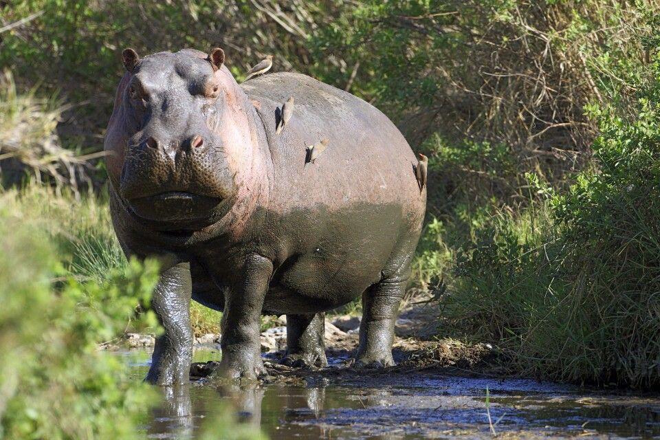 Flusspferde sind selten tagsüber an Land