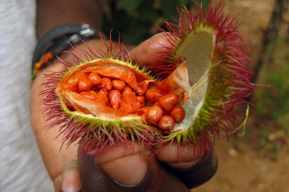 Frucht des Lippenstiftbaums