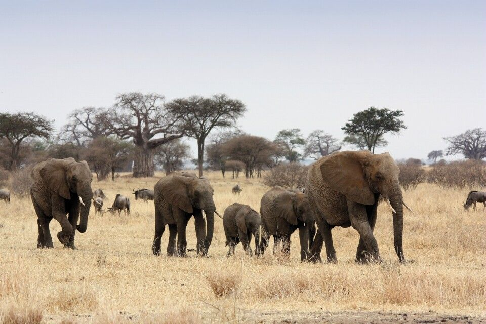 Elenfantenfamilie im Tarangire NP