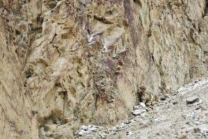 Schneeleopardenpirsch in Ladakh