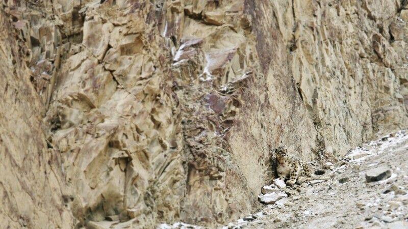 Schneeleopardenpirsch in Ladakh © Diamir