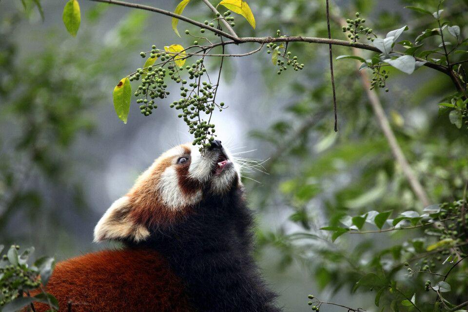 Kleiner bzw. Roter Panda