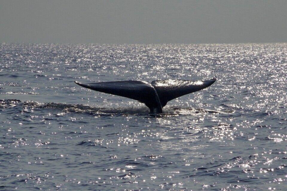 Blauwal vor der Küste Mirissas