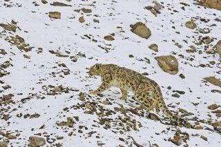 Schneeleopard in Ladakh